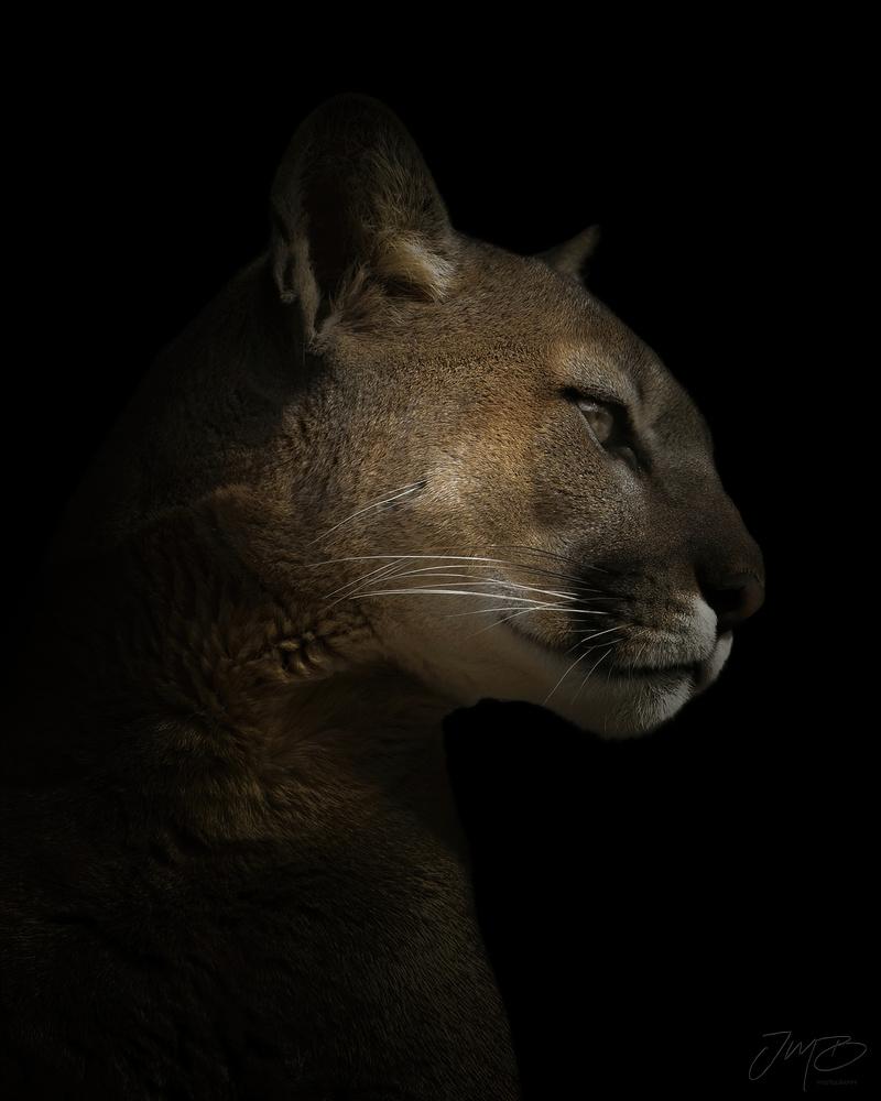 Puma by Joe Burdick
