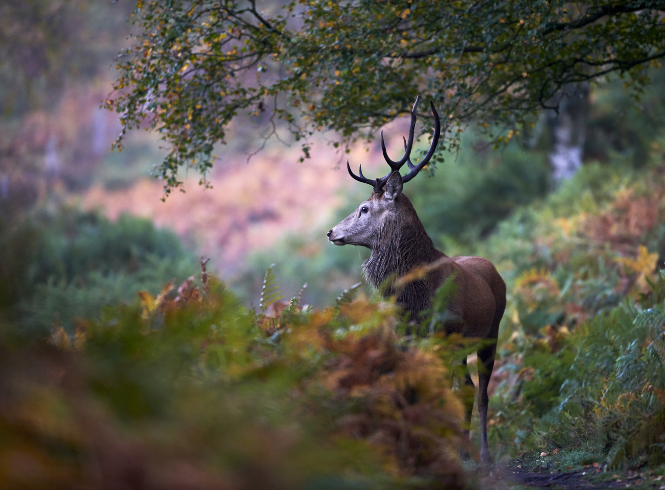 Young Stag on a woodland path by Paul Collins