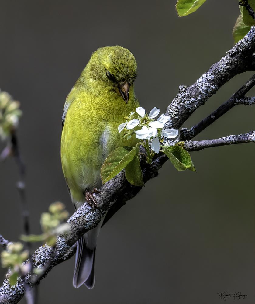 American Goldfinch by Kym George