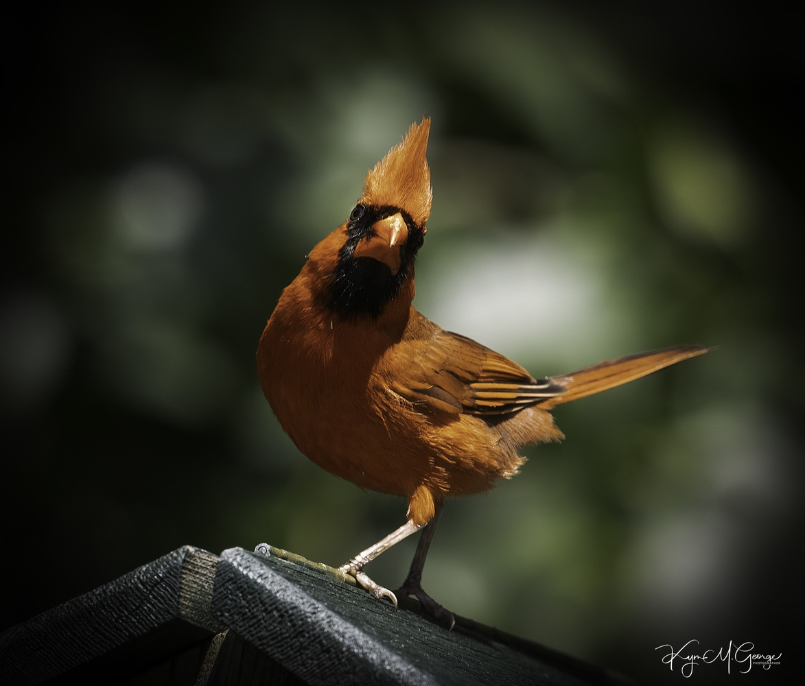 Male Cardinal by Kym George