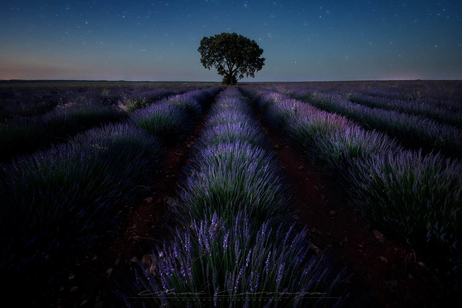Lonely in the lavender fields by Unai Larraya