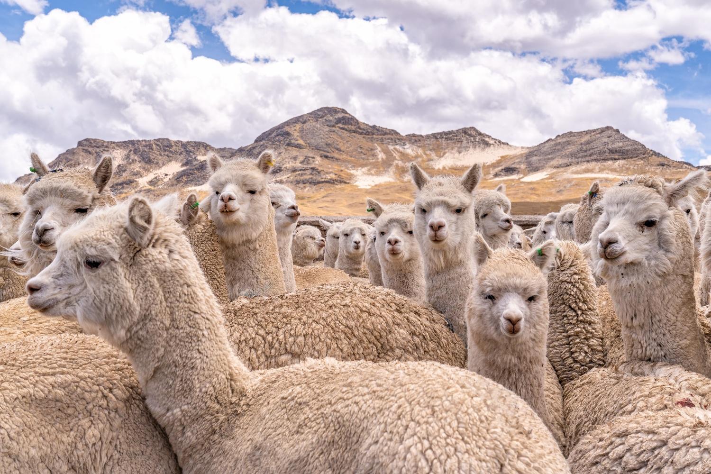 high on alpaca by Wasim Muklashy