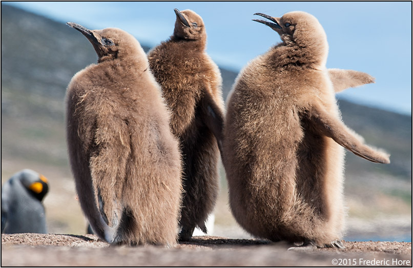 King penguin chicks play at Saunder's Island by Frederic Hore