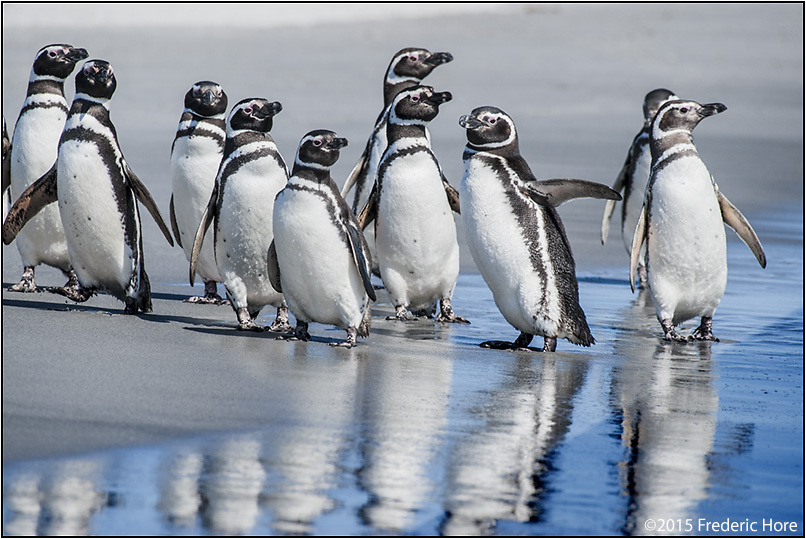 Magellanic penguins prepare to go surfing and foraging in the Falklands by Frederic Hore