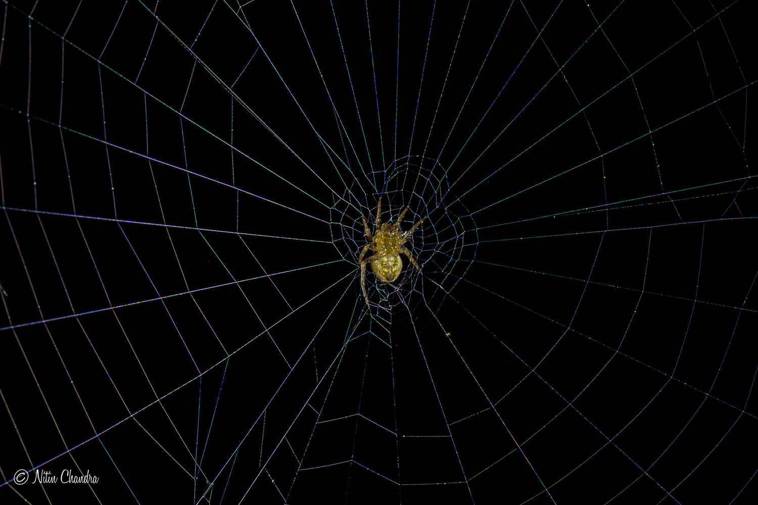 Teeny spider...Caught in a web :) by Nitin Chandra