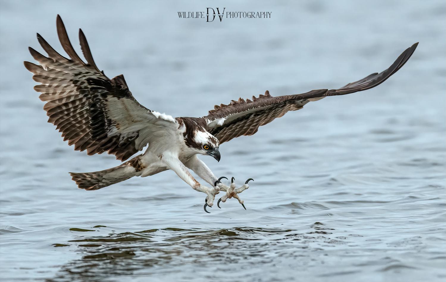 Osprey Pick Up by Dick Vautrinot
