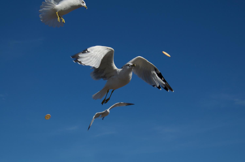 Seagull with Rtiz Cracker by Greg Gilbertson