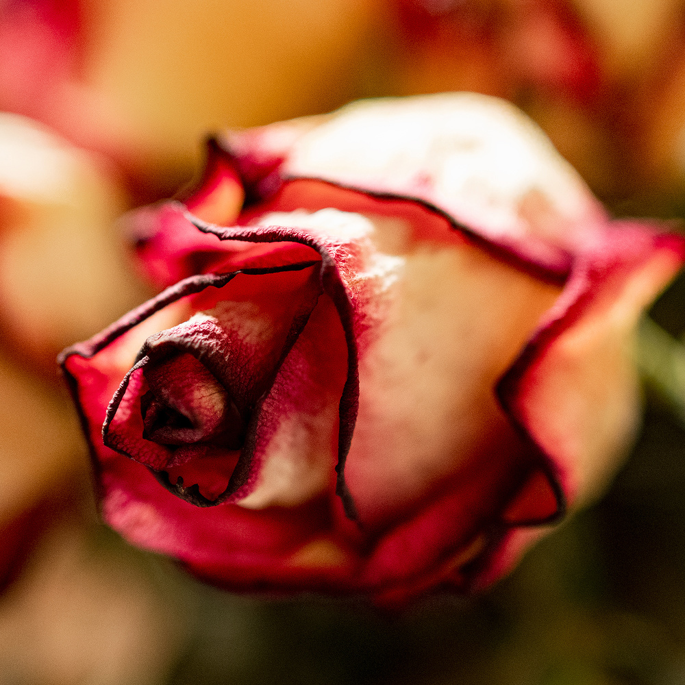 Dried Rose 2017 #11 by Gary Horsfall
