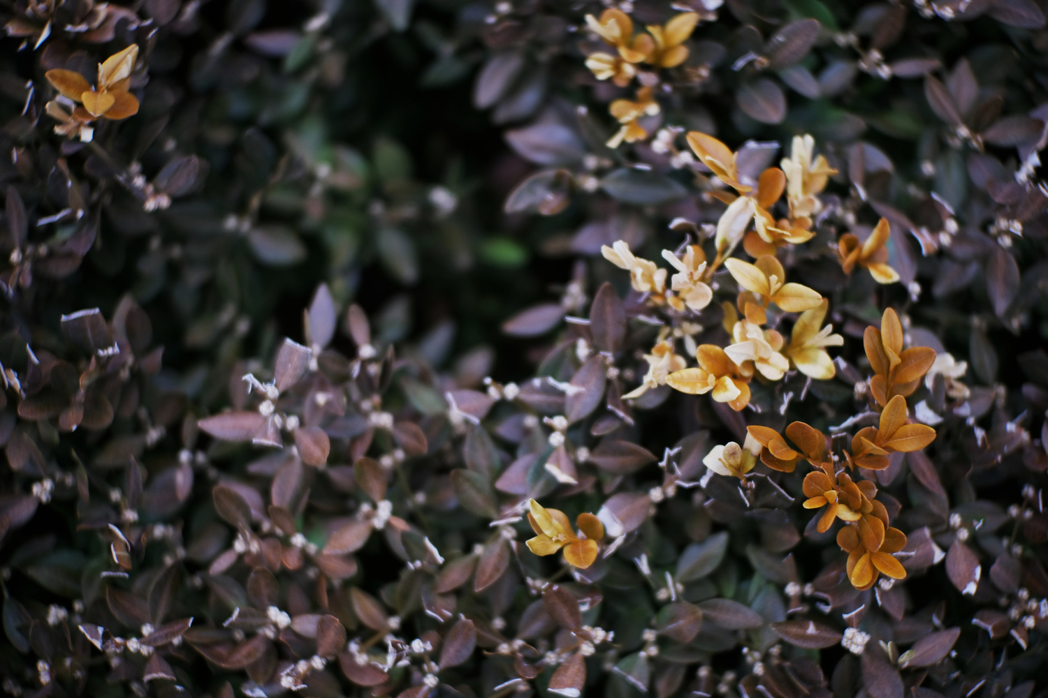 Dappled Gold on Purple by Andy Peterson