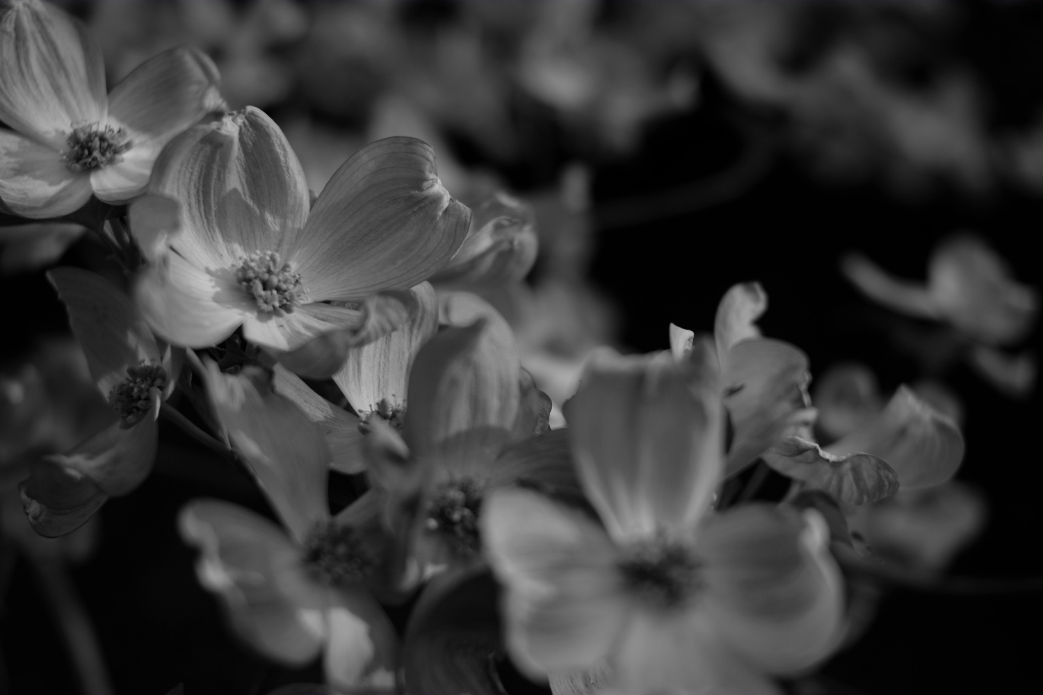Blossom Detail BW by Andy Peterson