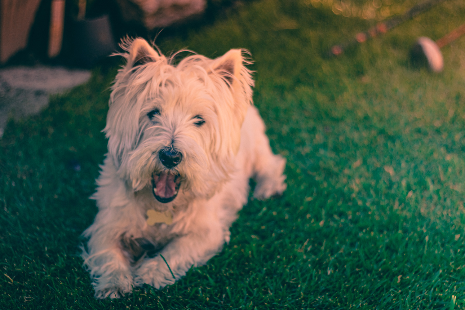 West Highland Terrier by Phil Daley