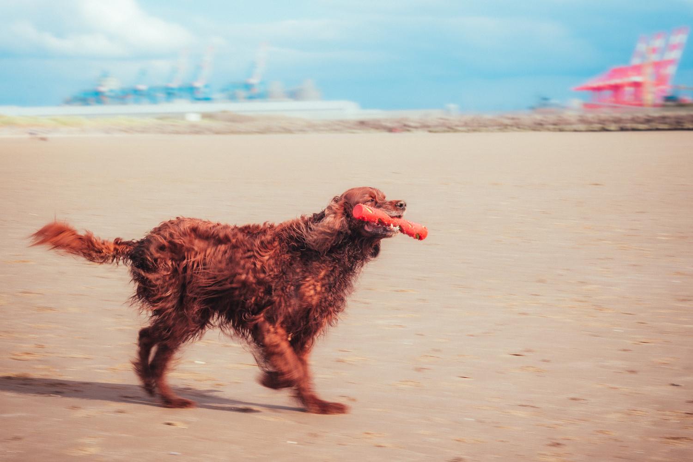 Beach Irish Setter 1 by Phil Daley