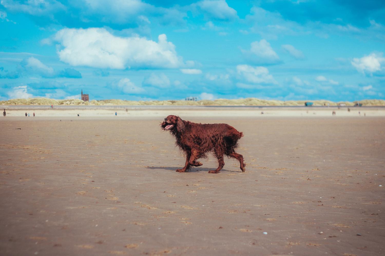 Beach Irish Setter 2 by Phil Daley