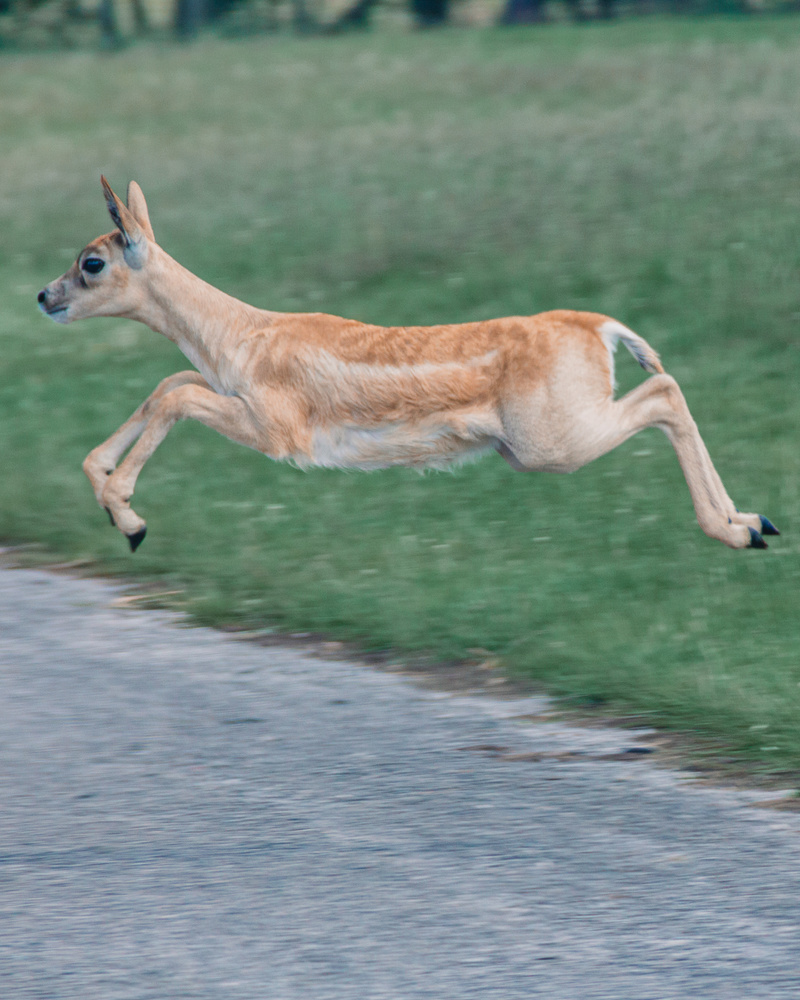 Leaping Deer by Phil Daley