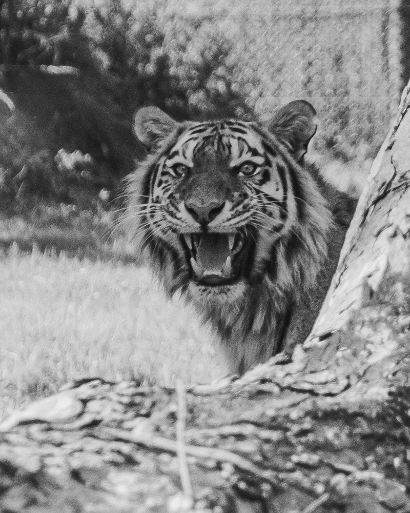 Tiger BW by Phil Daley
