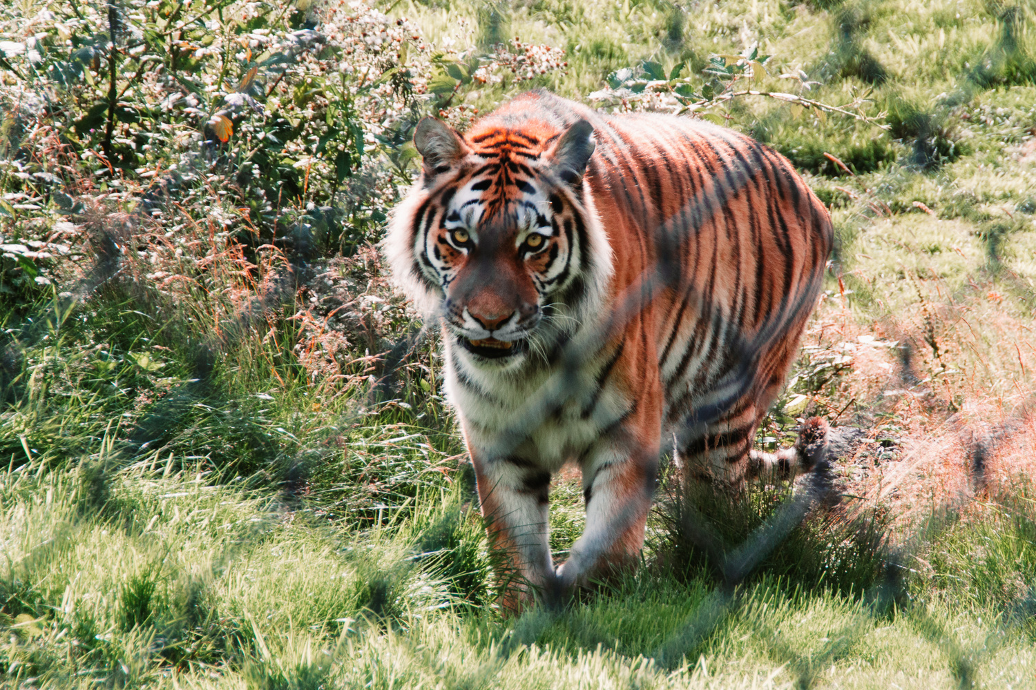 Tiger 3 by Phil Daley