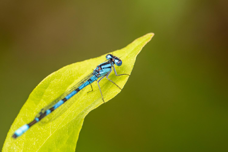 Blue Dragon Fly by Paul Ledger