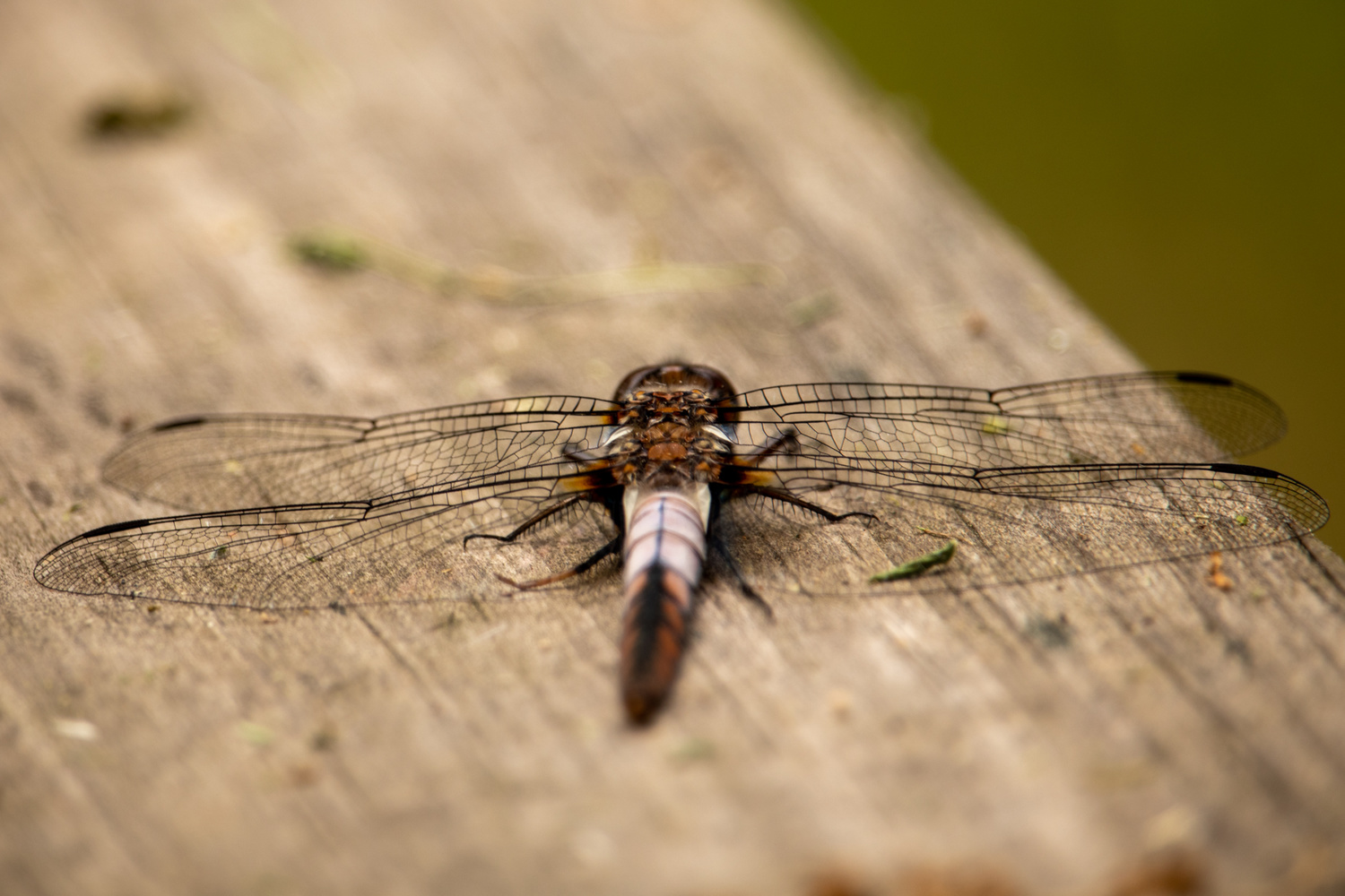 Brown Dragon Fly by Paul Ledger