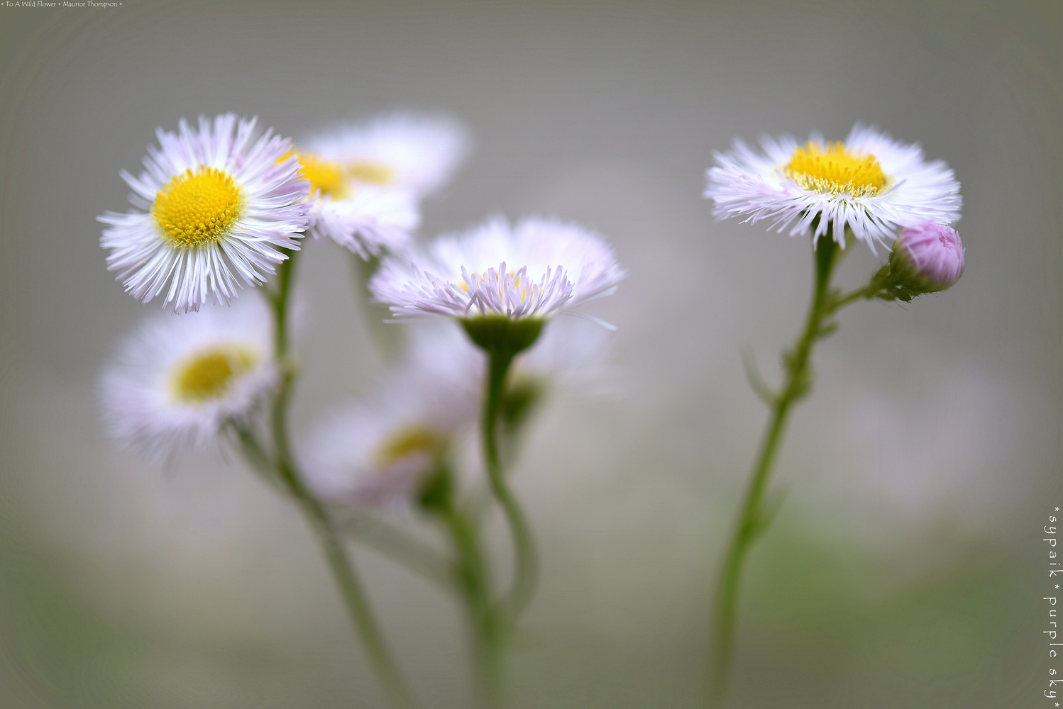 To A Wild Flower by s y paik
