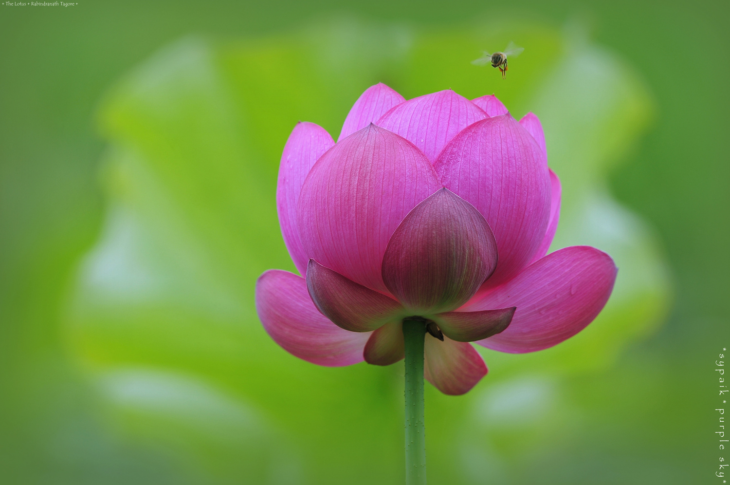 The Lotus by s y paik