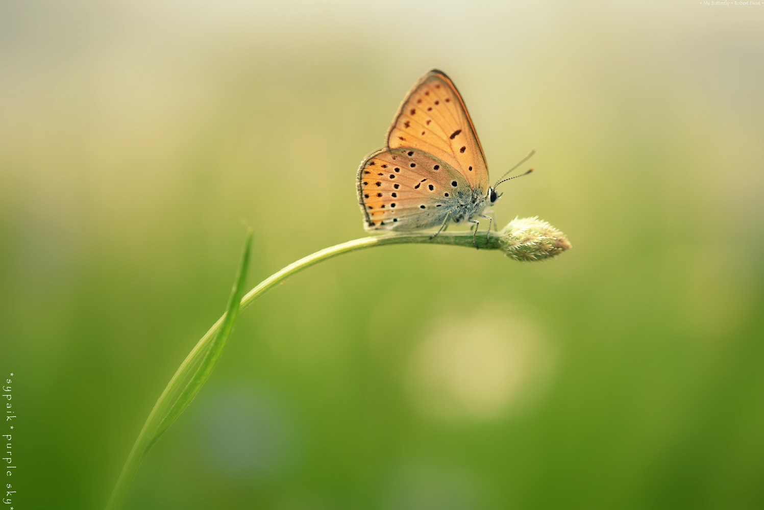 My Butterfly* by s y paik
