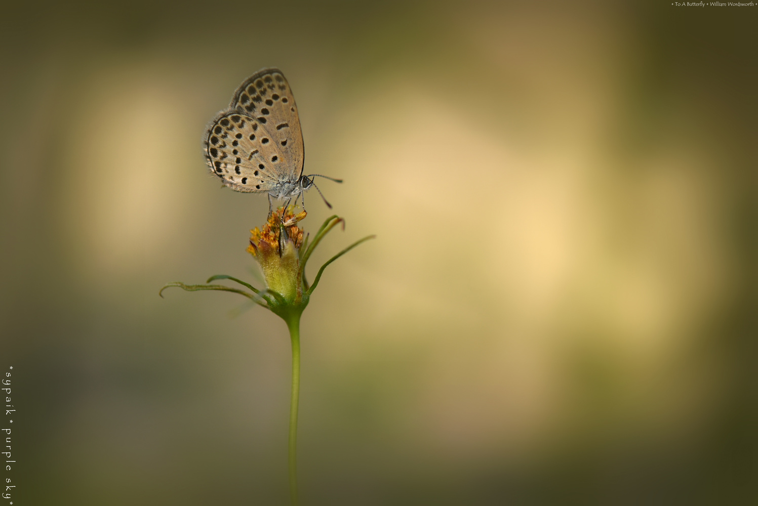To A Butterfly by s y paik