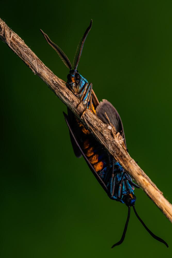 Forester Moth by Sameer Bhalekar