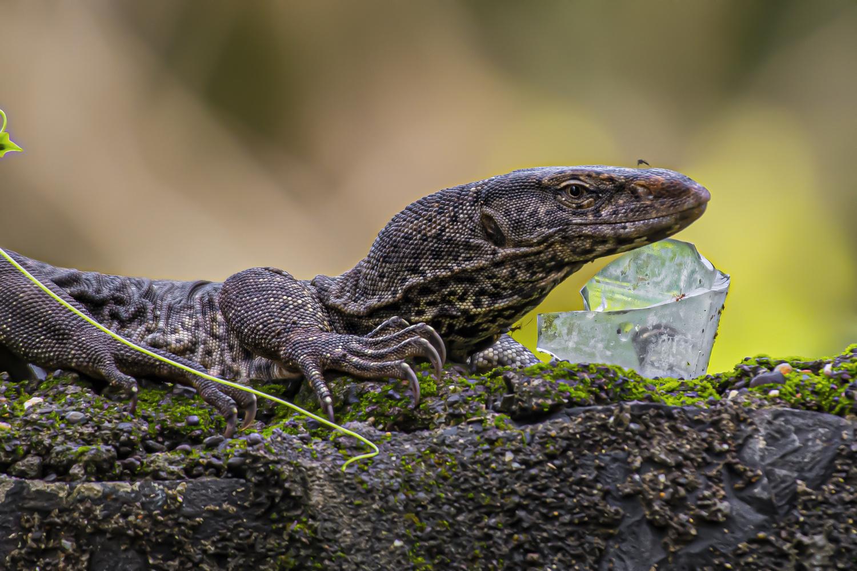 Bengal Monitor Lizard by Sameer Bhalekar