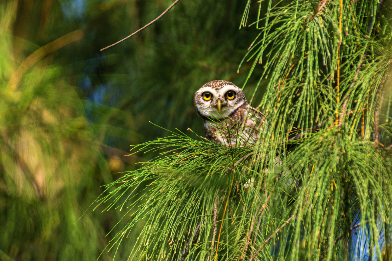 Spotted Owlet by Sameer Bhalekar