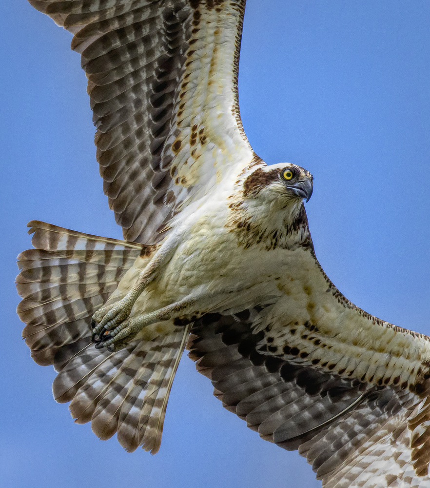 Osprey by robert george