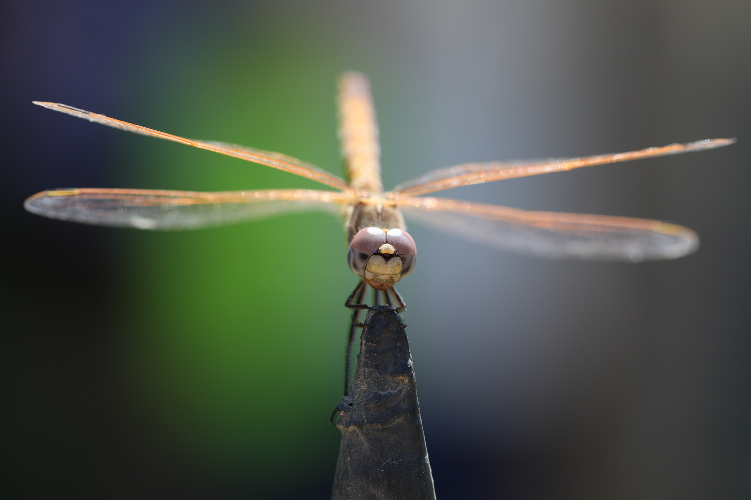 dragonfly head on by Simon Richards