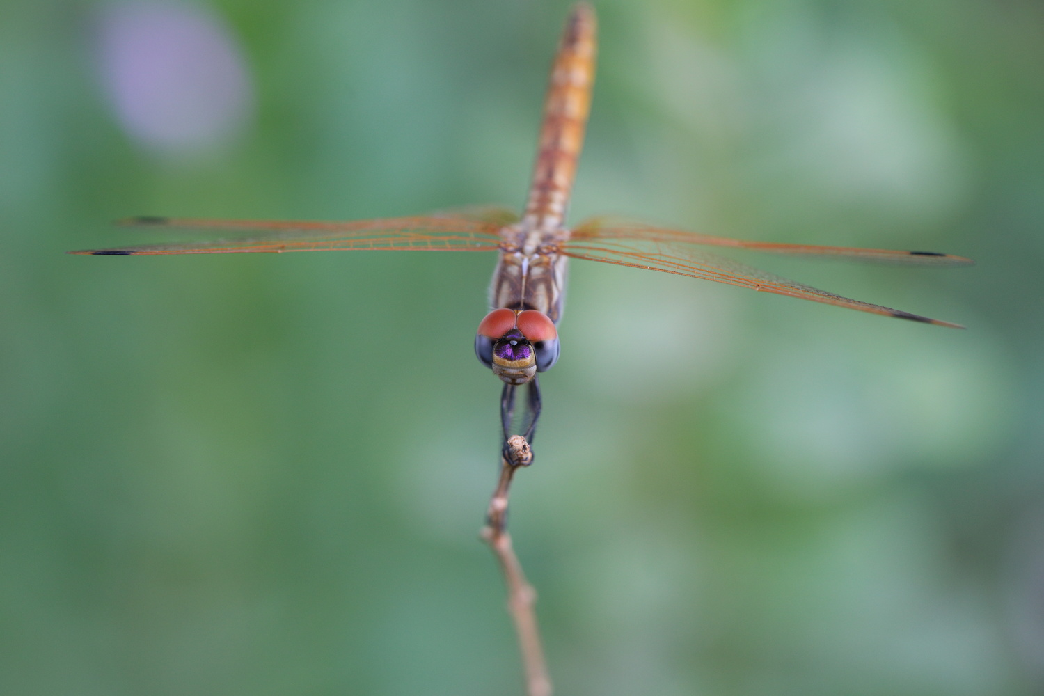 head on dragonfly on a stick by Simon Richards