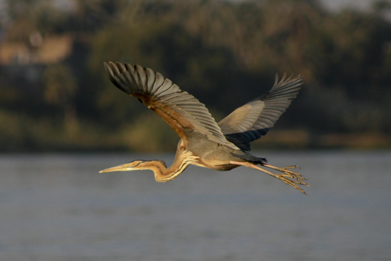 Purple Heron in flight by Simon Richards