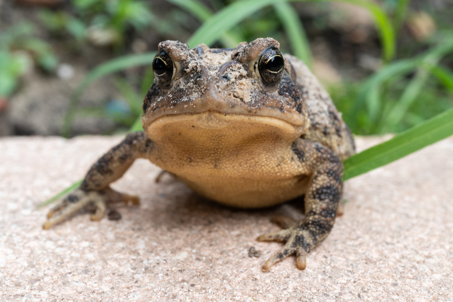 Florida Southern Toad by Zachary Thomas