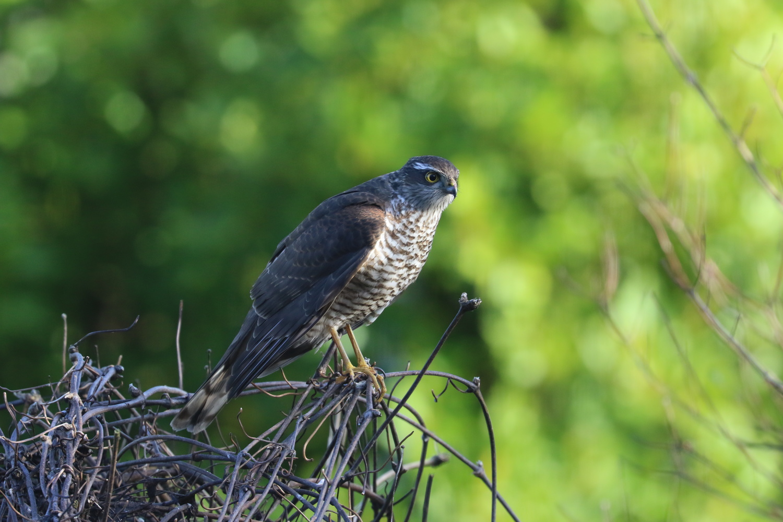 Female Sparrowhawk by John Green