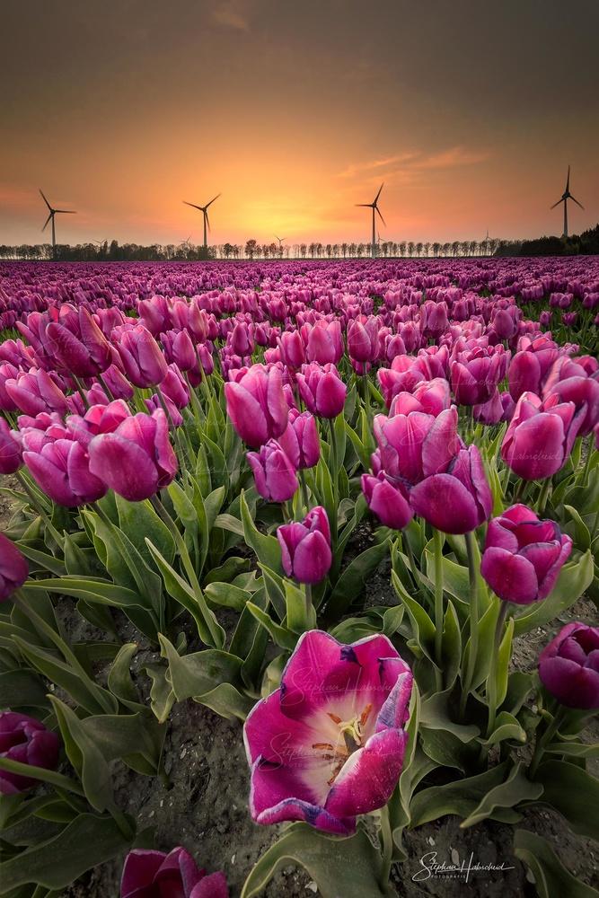 Tulips by Stephan Habscheid