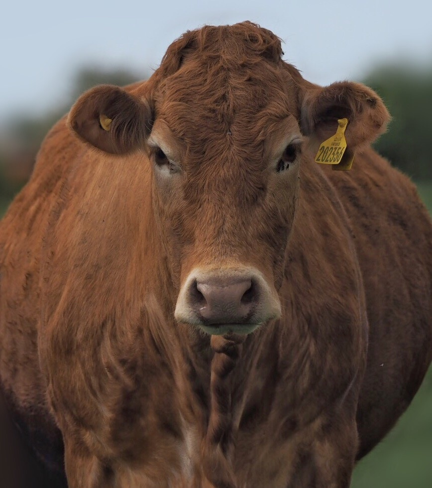 Cow stare down. by Tom Freer