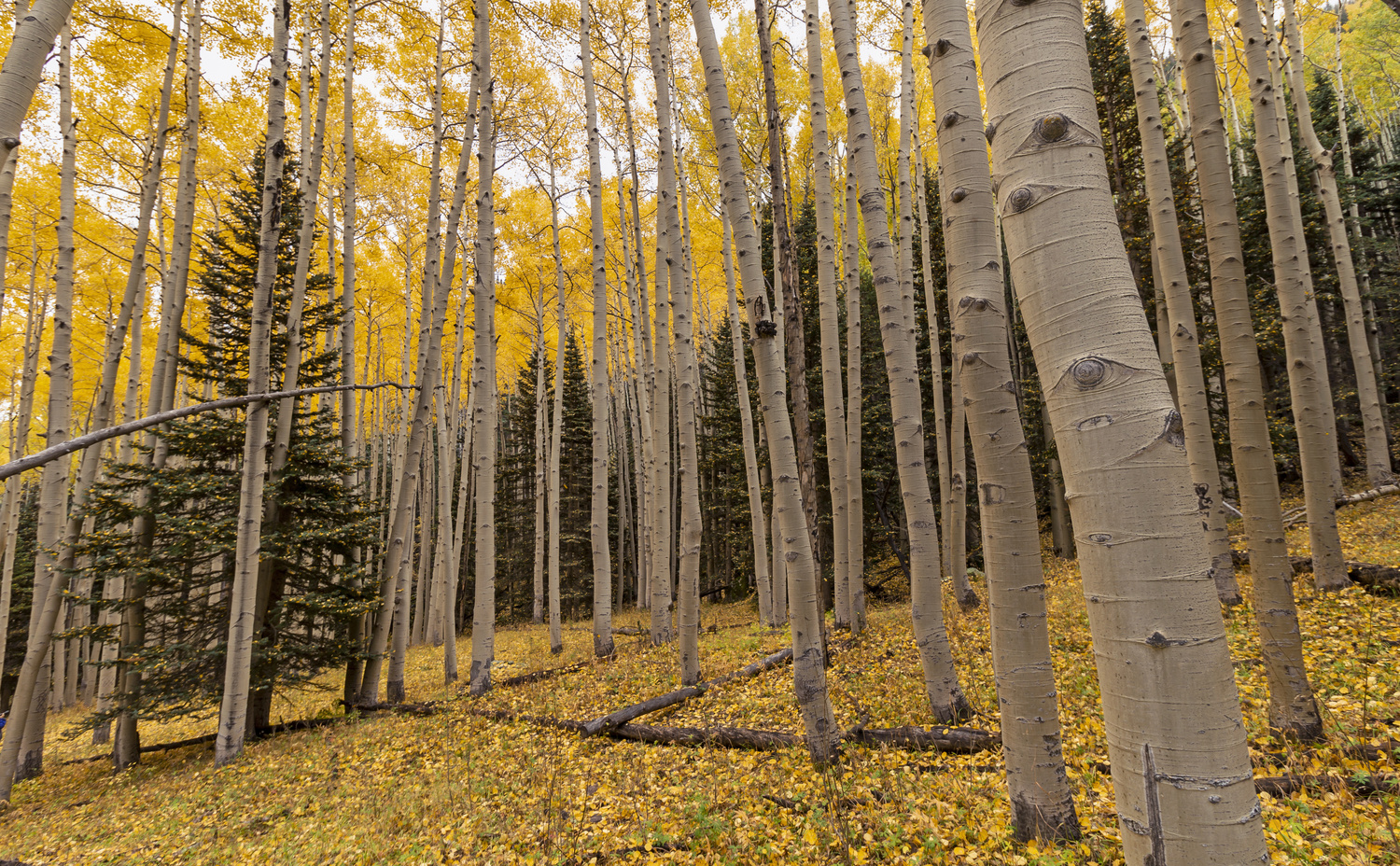Stunning Aspen Forest In The Fall by Ray Redstone