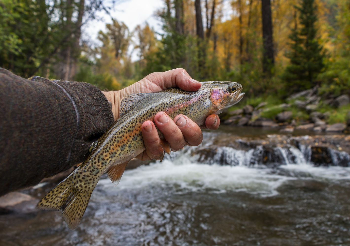 Wild Trout Caught & Released Fly Fishing by Ray Redstone