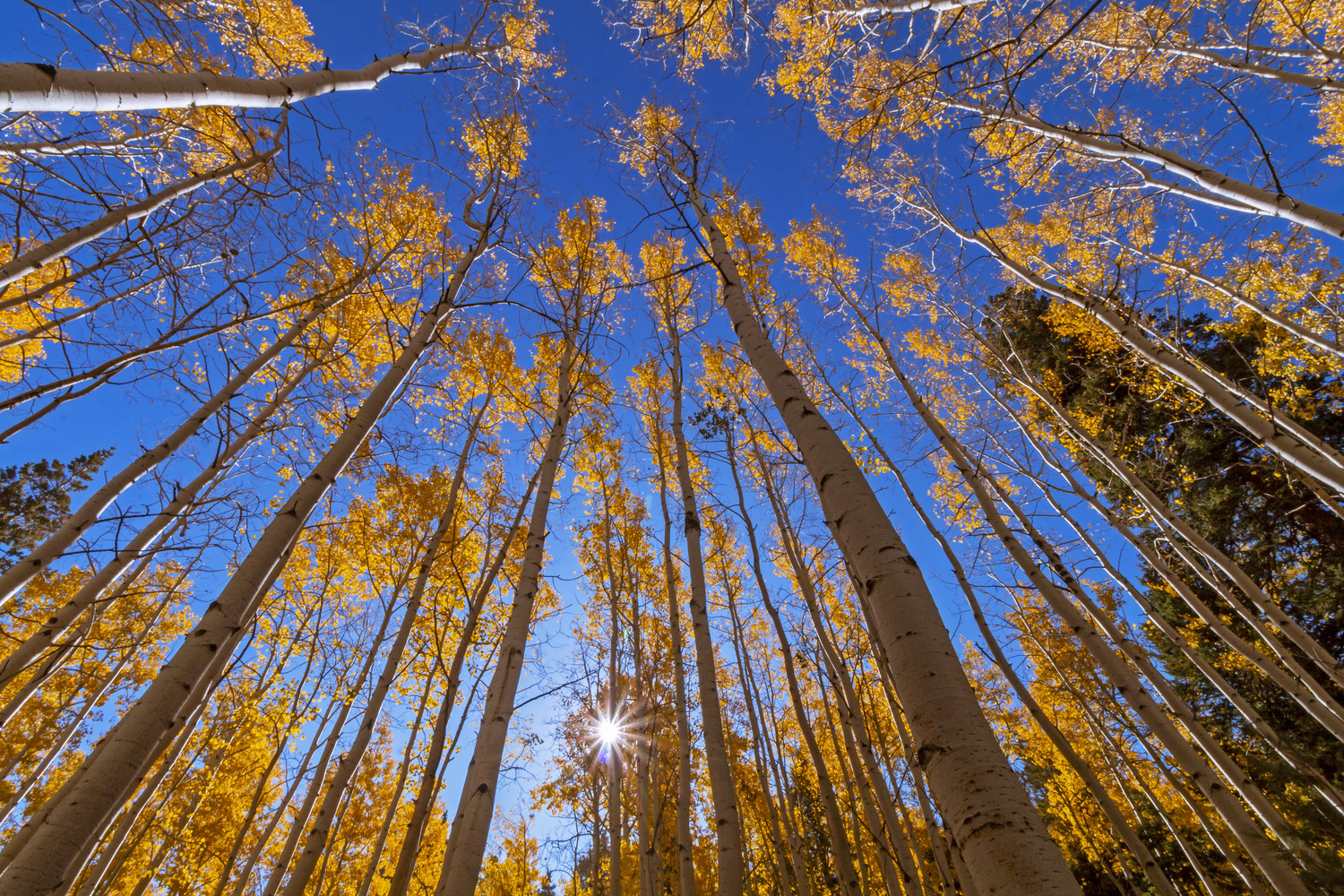 Aspen Trees Soaring Into The Sky During Fall In Flagstaff, AZ by Ray Redstone