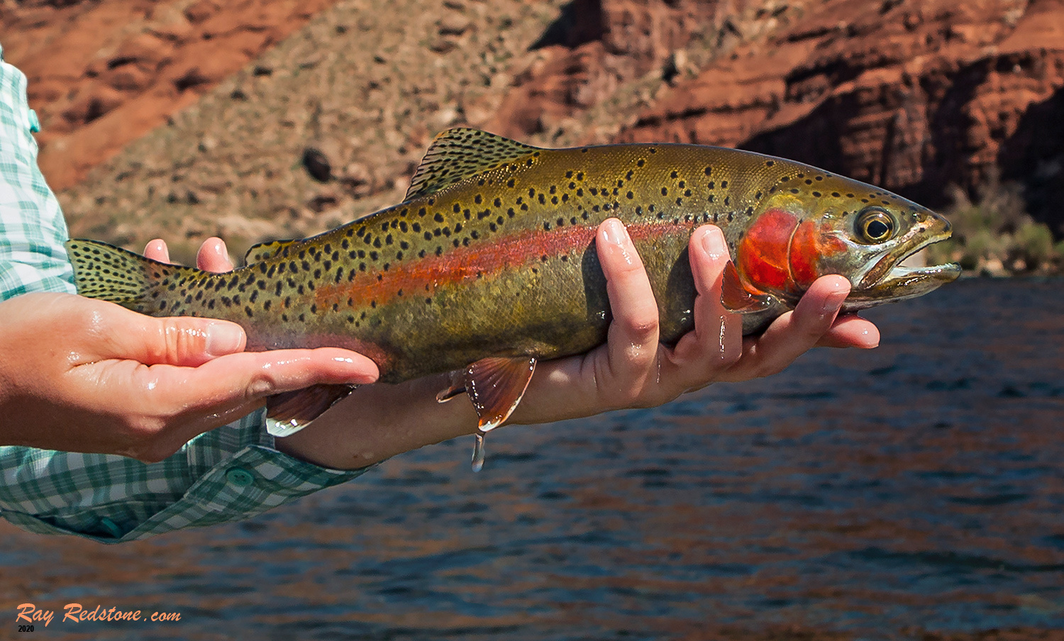 Vibrant Colored Colorado River Rainbow Trout by Ray Redstone