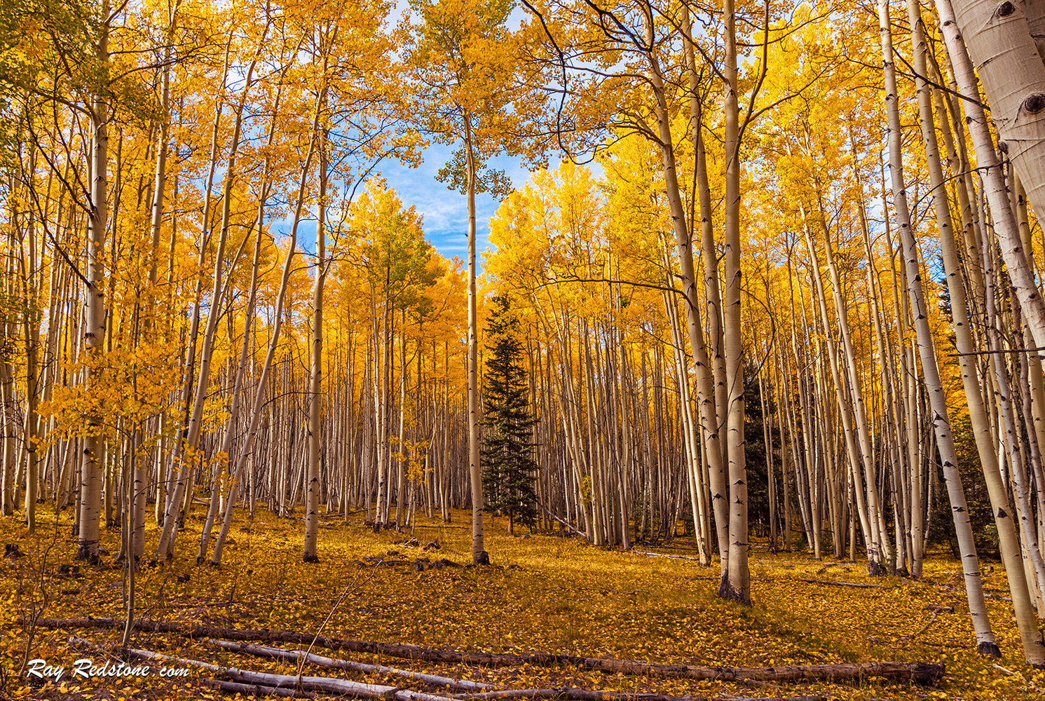 Aspen Forest at Fall Time In Colorado by Ray Redstone