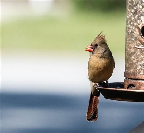 Cardinal at feeder by John Mullens