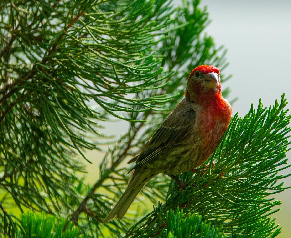 Red bird, green tree by John Mullens