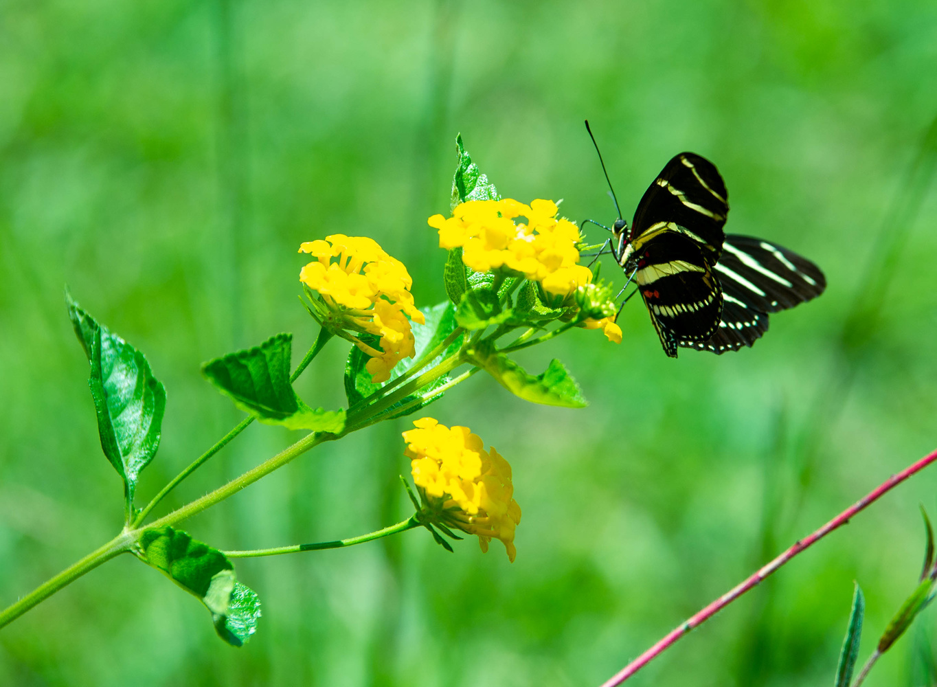 Zebra Longwing in the afteroon by John Mullens