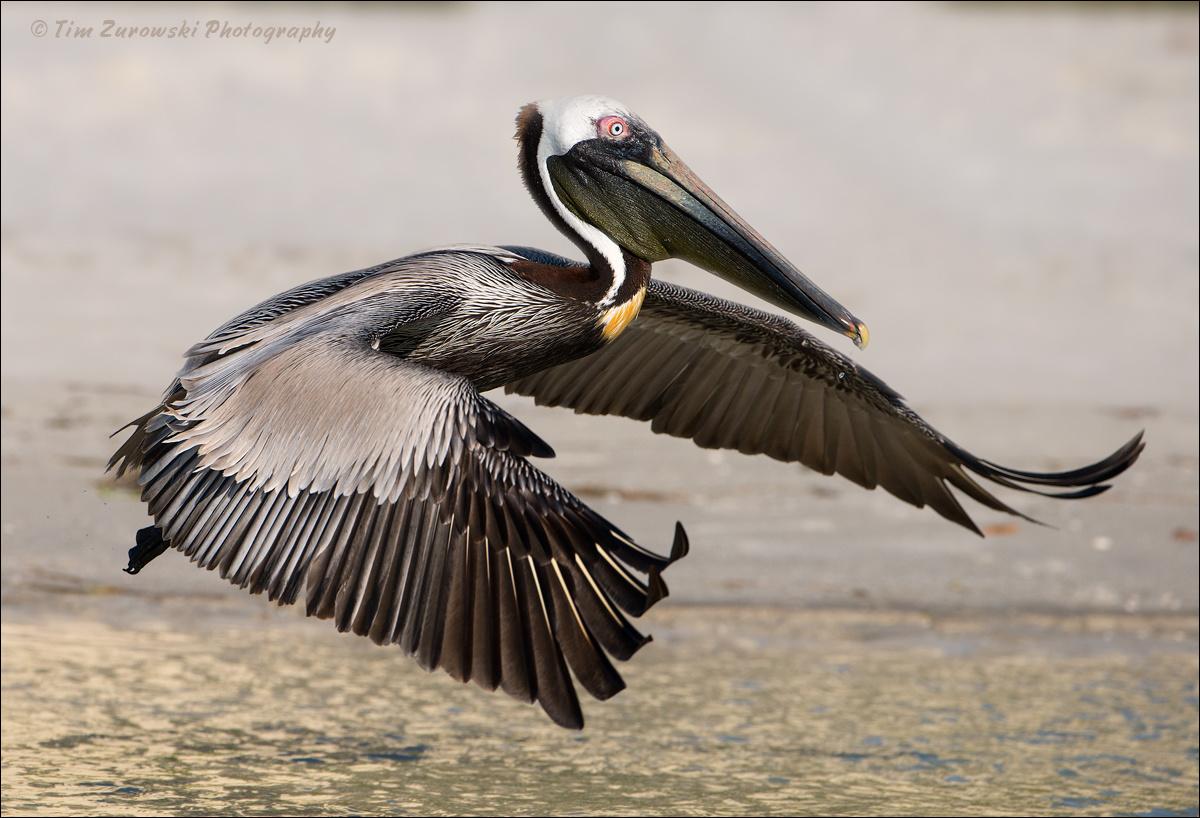 Brown Pelican by Tim Zurowski