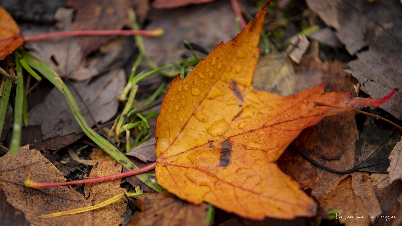 Pine Grove Leaf by Bryan Carter