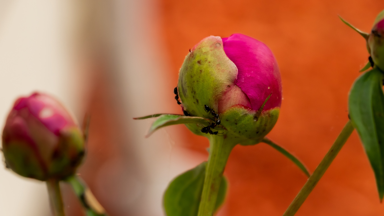 Carpenter Ants on a Peony by Randy D White