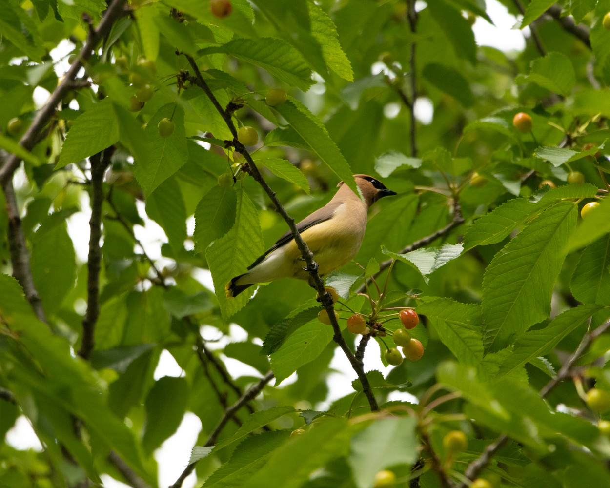 The Cedar Waxwing by Randy D White