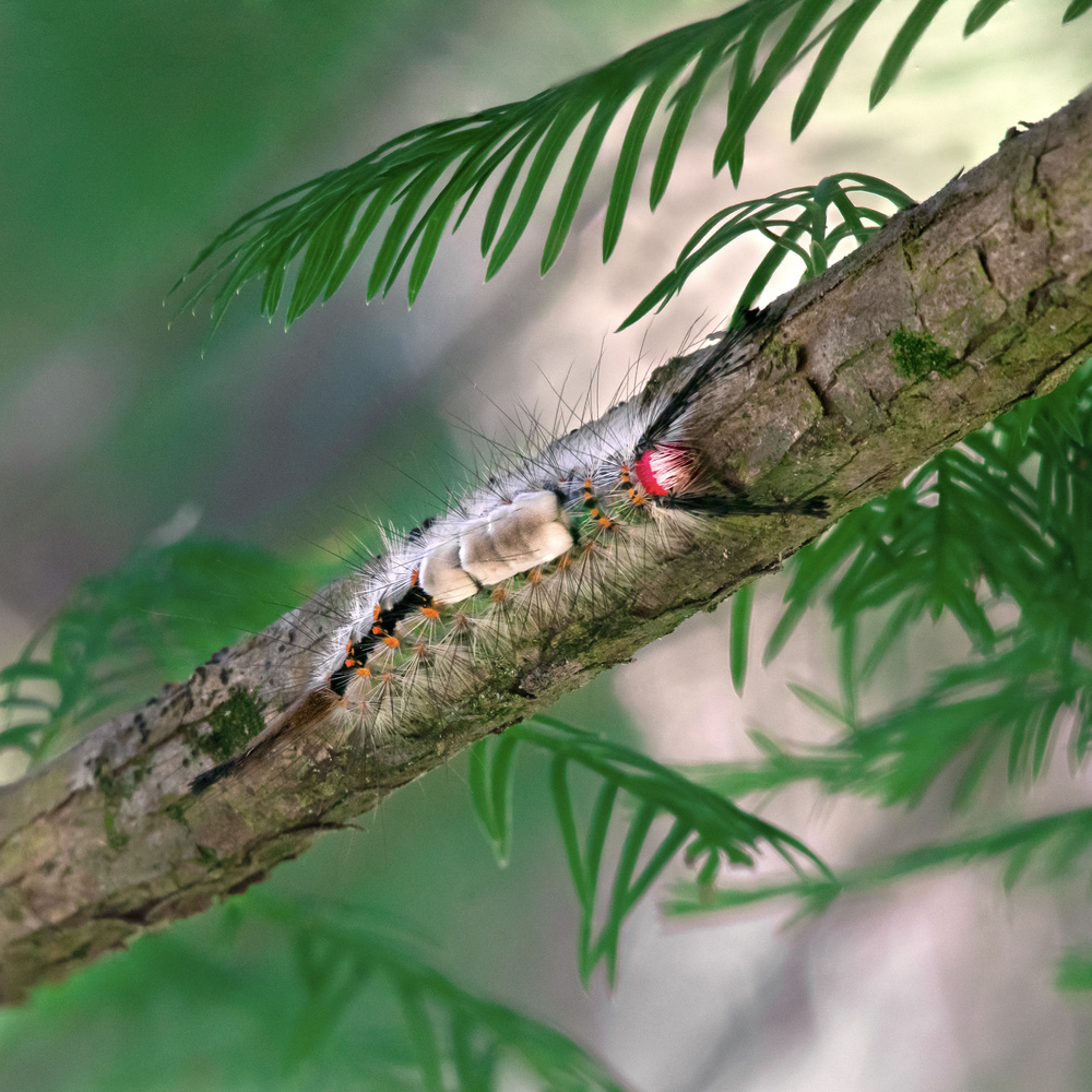 White-marked Tussock Moth Caterpillar by Logan Williams